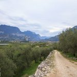 Tarasowe gaje oliwne