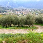 Stroma droga przez gaj oliwny