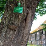 Przeborowo – w sąsiedztwie kościoła – klon – pomnik przyrody